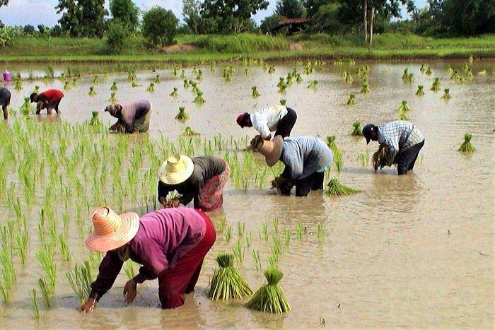 Thai women farming
